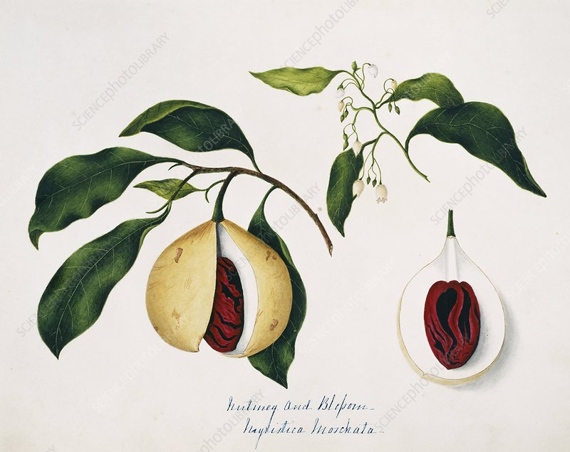 Nutmeg fruits and seeds