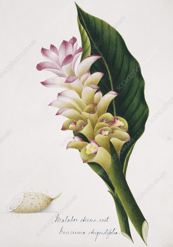 Malabar arrowroot flowers and rhizome