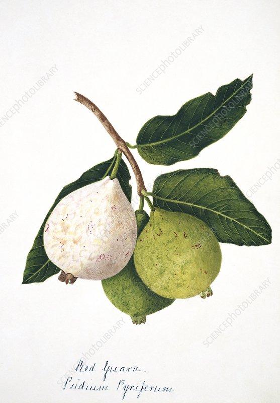 Pear guava fruits