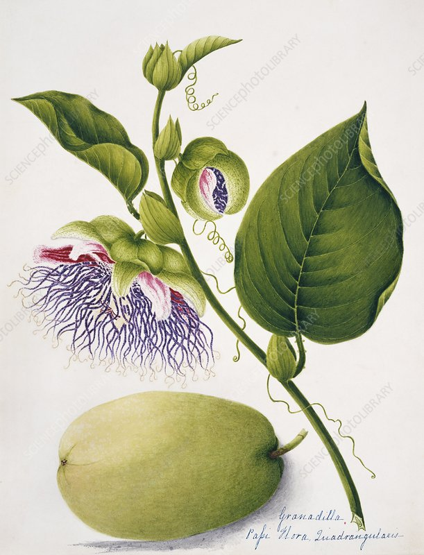 Giant granadilla flowers and fruits