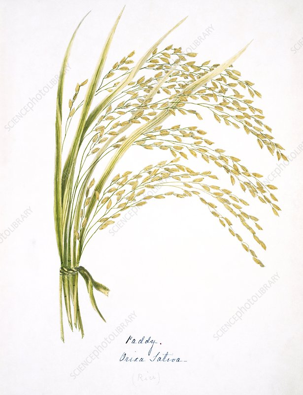 Rice stalks and flowers