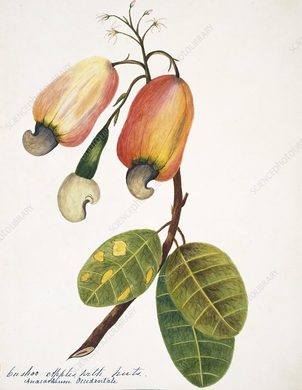 Cashew plant fruit and nuts