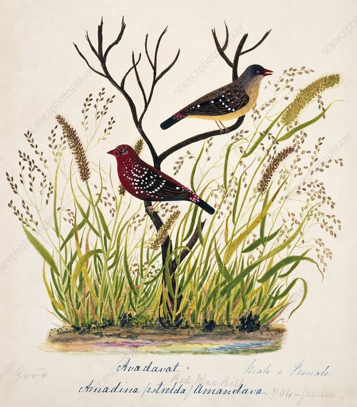 Red avadavat male and female