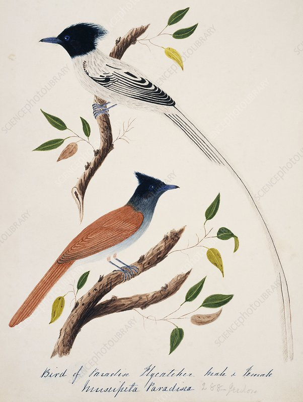 Asian paradise-flycatcher male and female