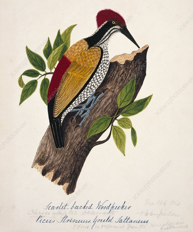 Greater flame-backed woodpecker
