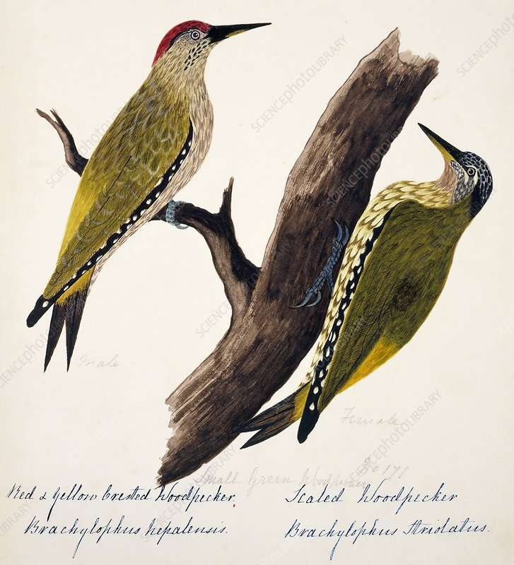 Picus woodpeckers