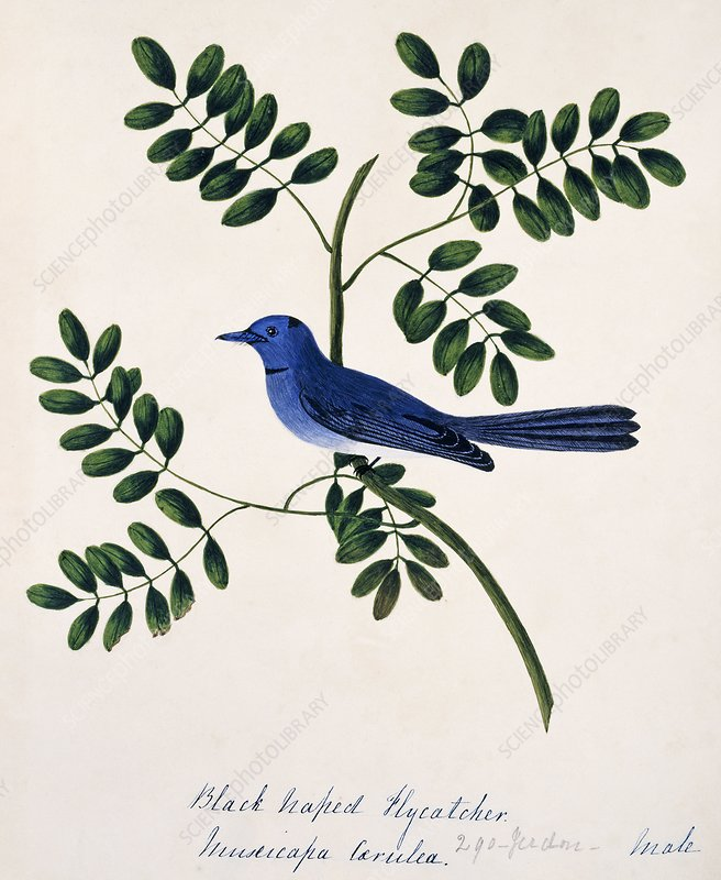 Black-naped monarch female