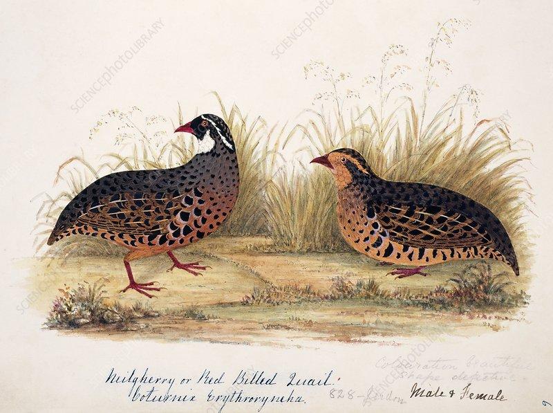 Painted bush quail male and female