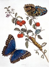 Insects of Surinam, 18th century