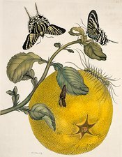 Insects of Surinam, 18th century artwork
