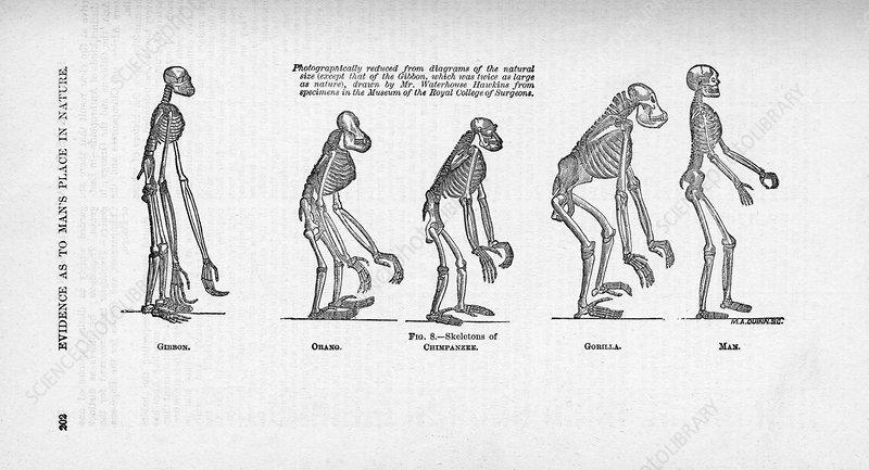 Comparison of primate skeletons