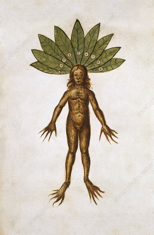 Mandrake root (Mancragora officinarum)