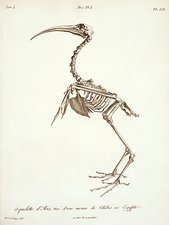 African sacred ibis skeleton, artwork