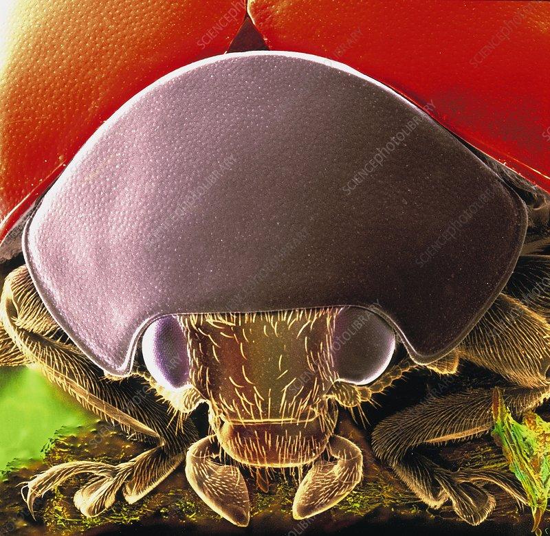 Seven-spot ladybird head, SEM