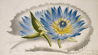 Water lily (Nymphaea capensis), artwork