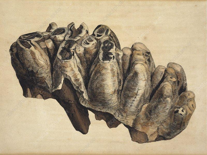 Fossil mastadon tooth, artwork