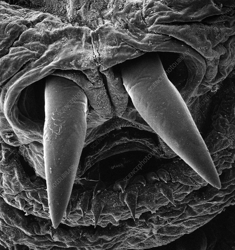 Botfly larva mouthparts, SEM