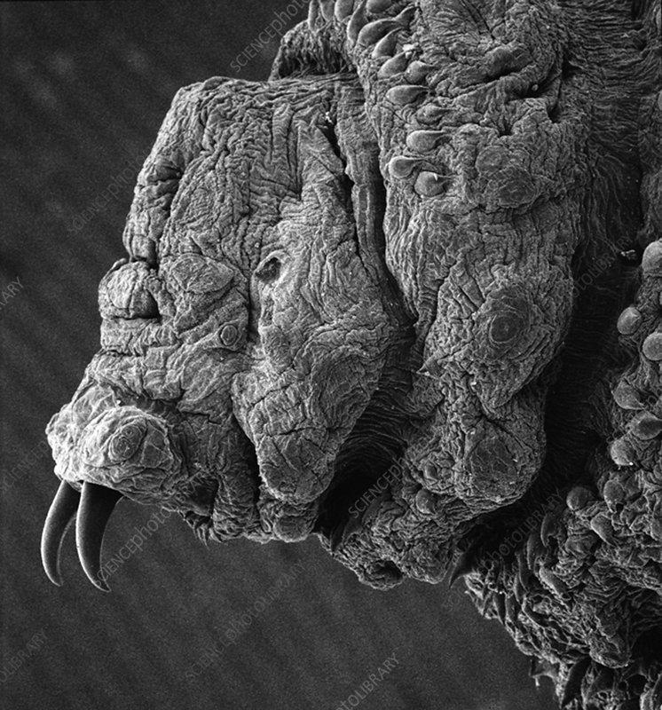 Botfly larva, SEM