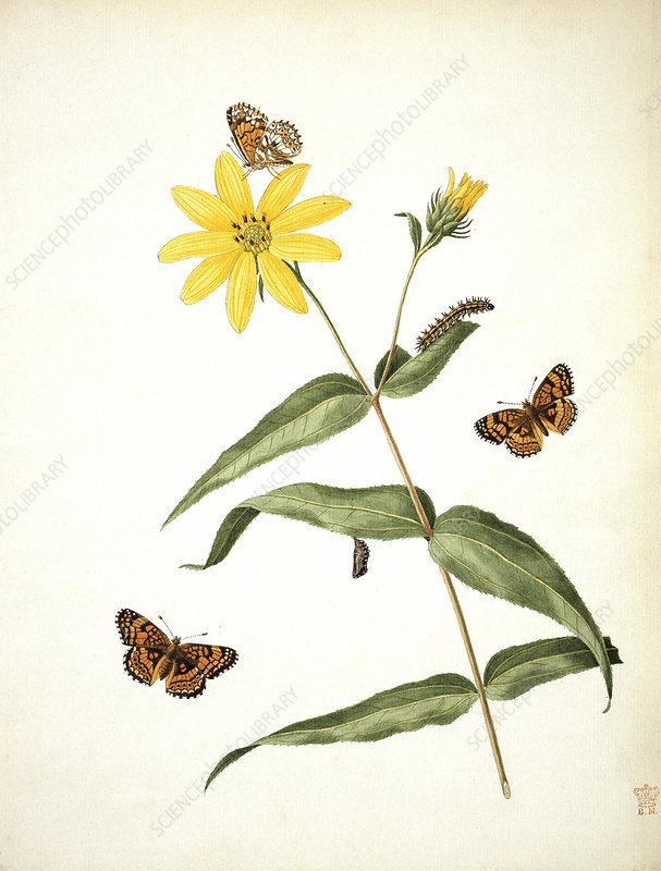 Butterflies and sunflower,artwork