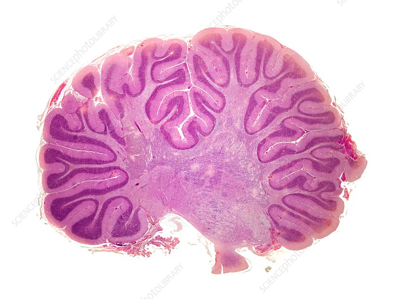 Cerebellum, light micrograph
