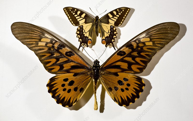 Largest butterflies of Britain and Africa