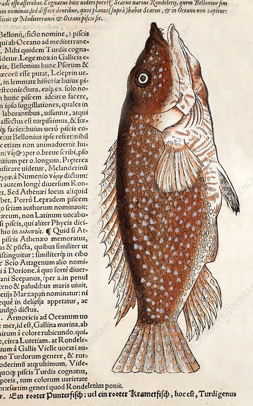 1560 Gesner early fish illustration