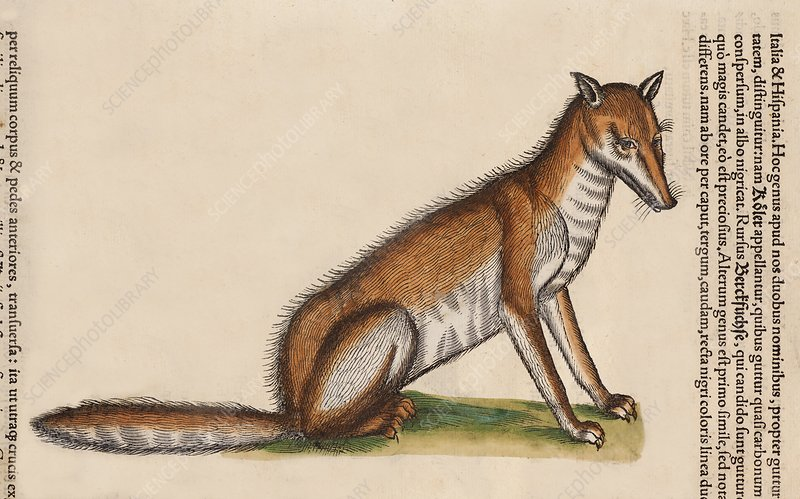 1560 Red Fox portrait from Conrad Gesner