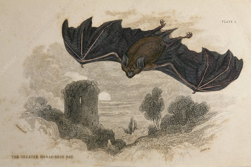 1836 Greater horseshoe bat halloween