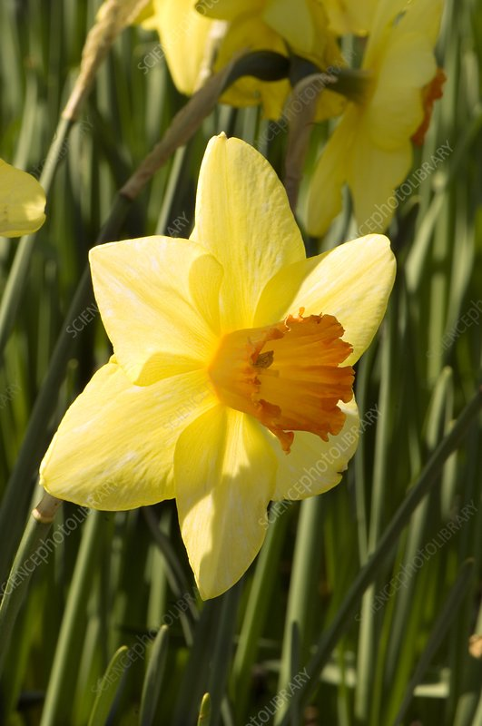 Daffodil (Narcissus 'Red Devon')