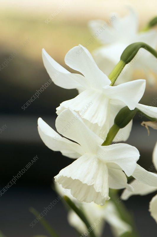 Daffodil (Narcissus 'Niveth')