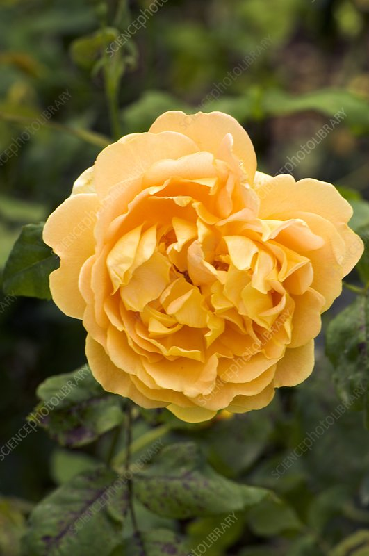 Rose (Rosa 'Golden Celebration')