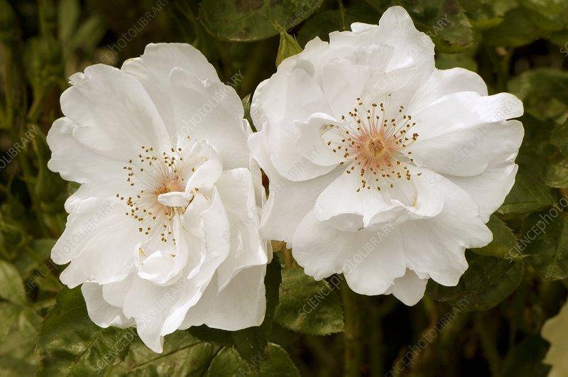 Rose (Rosa 'Jacqueline due Pre')