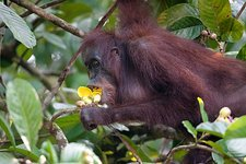 Bornean orangutan eating