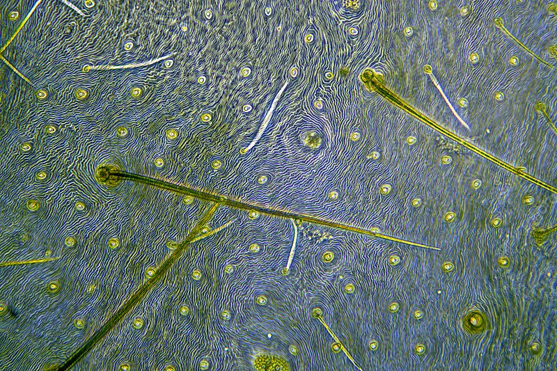 Spider cuticle, light micrograph
