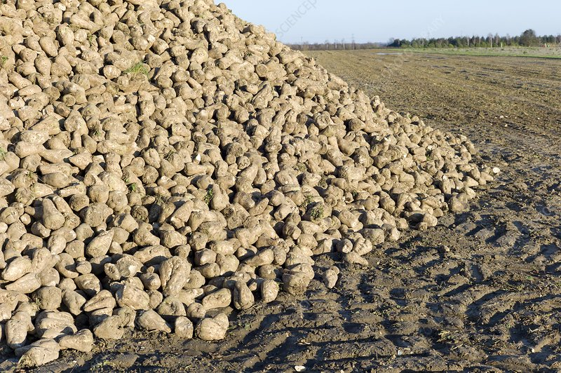 A heap of harvested sugar beet