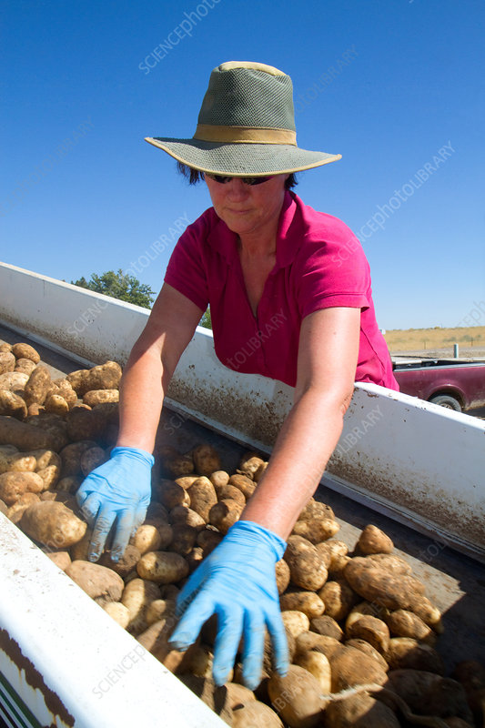 Sorting Potatoes