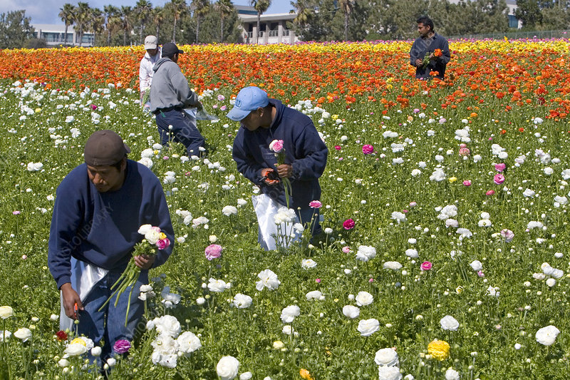 Workers Harvesting Ranunculus Flowers