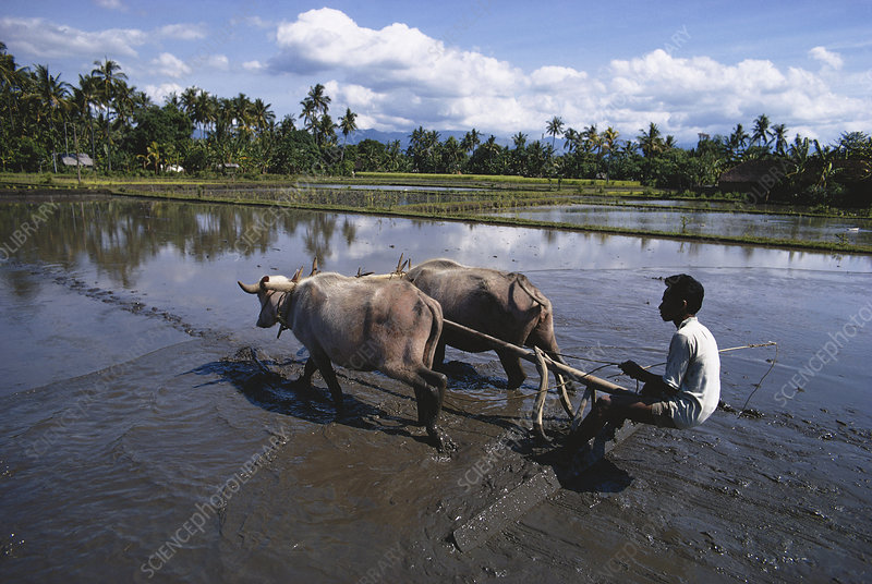Ploughing Rice Paddy, Indonesia