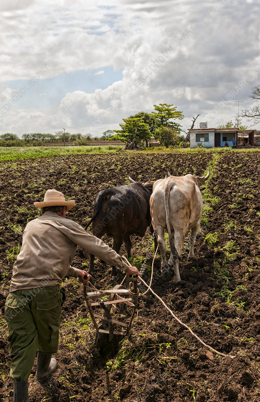 Cuban Man with Bull Plow