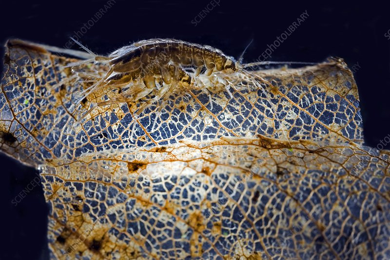 Water lice mating, light micrograph