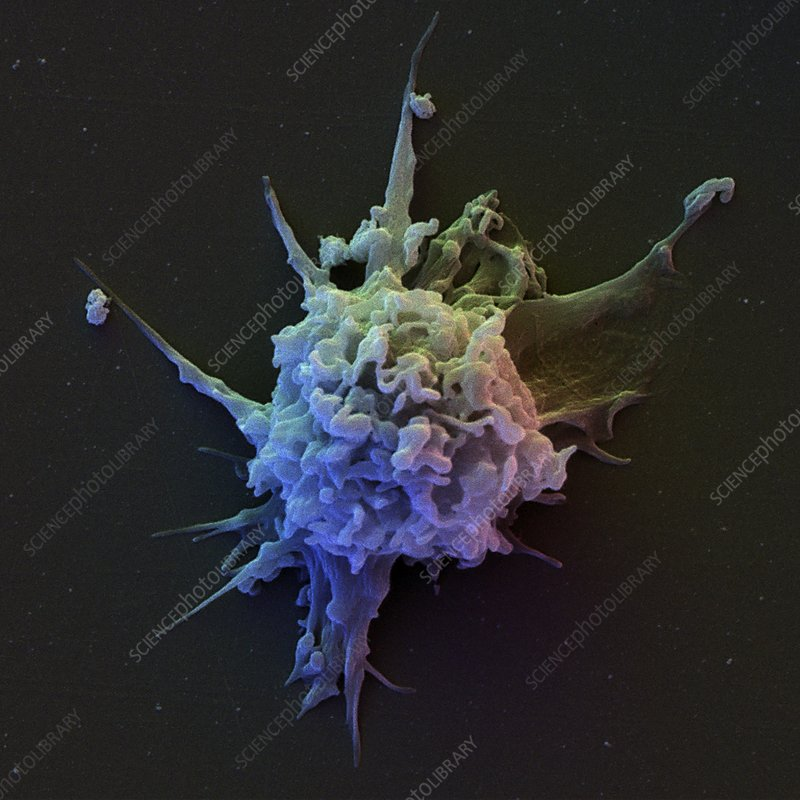 T lymphocyte, SEM