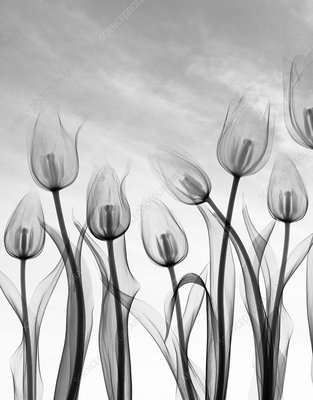 Tulip flowers, X-ray