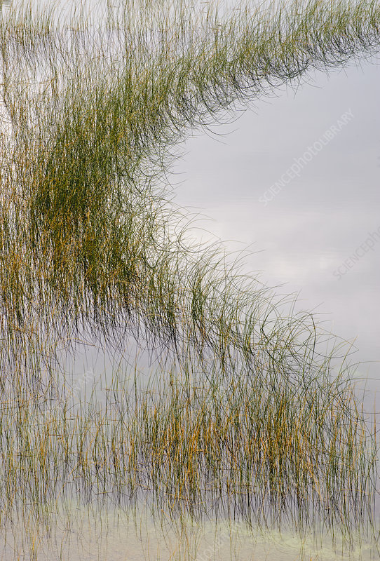 Reed Plants lining a Pond