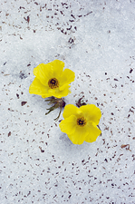 Alpine Buttercups