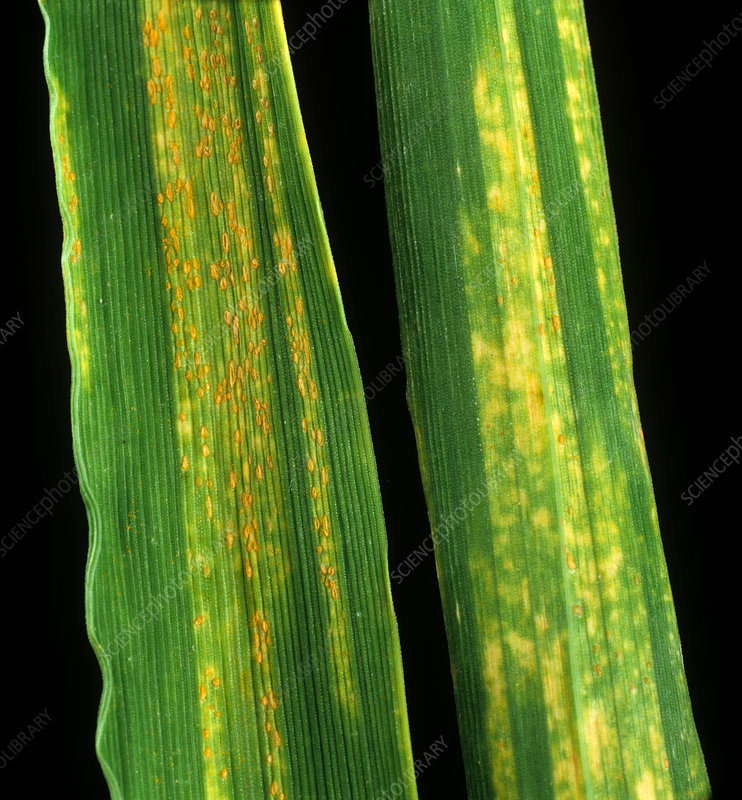 Yellow rust in barley leaves