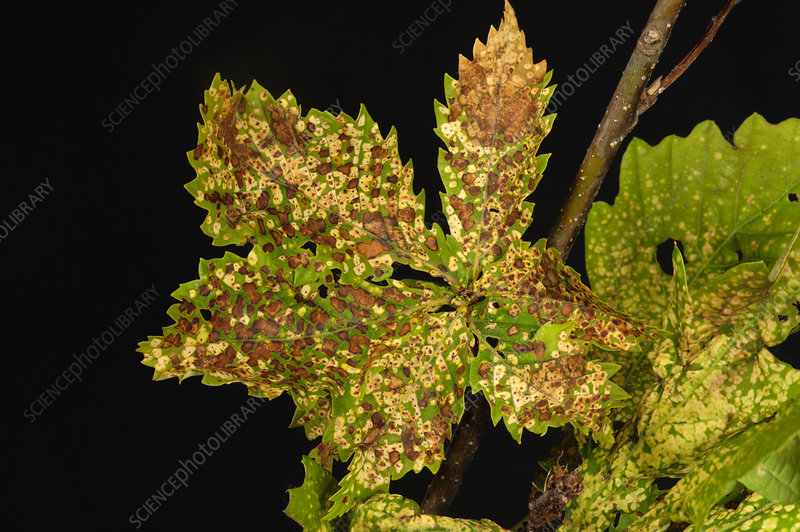 Oak leaf phylloxera damage