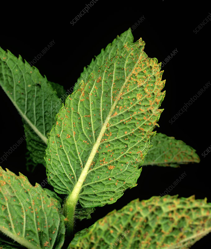 Mint rust (Puccinia menthae)