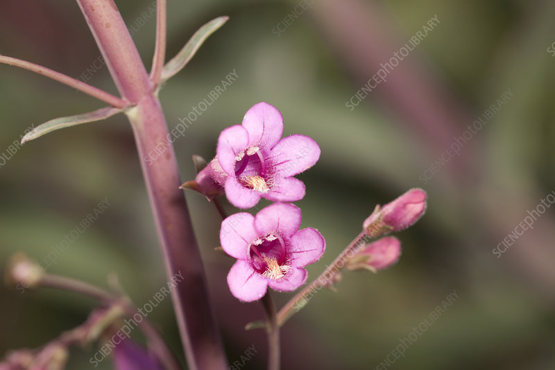 Parry's beardtongue