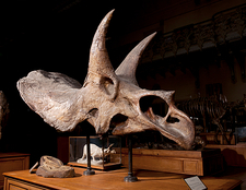 Triceratops fossil skull, museum display