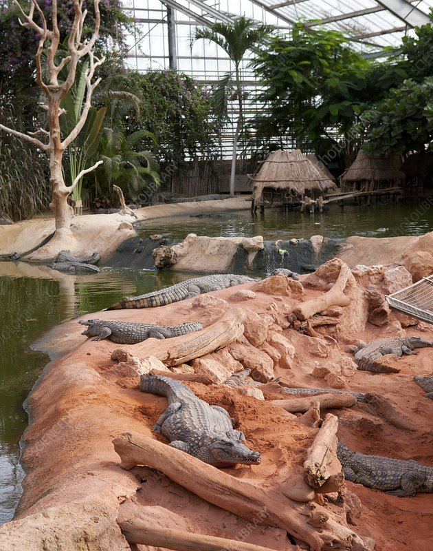 Nile crocodiles at a crocodile farm